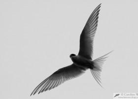 Arctic tern (Sterna paradisaea), Reykjavík, Iceland