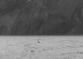 Blue whale (Balaenoptera musculus), Skjálfandi bay, Iceland