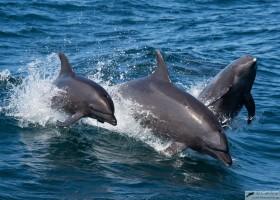 Bottlenose dolphin (Tursiops truncatus), Sea of Cortez, Baja California