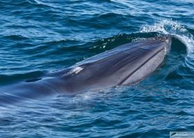 Bryde's whale (Balaenoptera edeni), Sea of Cortez, Baja California