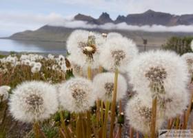 Dandelions (Taraxacum), east fjords, Iceland