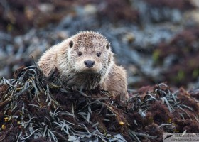 European otter (Lutra lutra), Unst, Shetland, Scotland