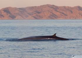 Fin whale (Balaenoptera physalus), Sea of Cortez, Baja California