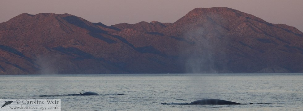Fin whales (Balaenoptera physalus) in the Sea of Cortez, Baja California