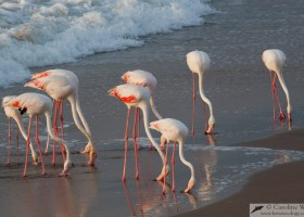 Flock of greater Flamingo (Phoenicopterus roseus) feeding on the beach.