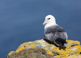 Fulmar (Fulmarus glacialis), Noss, Shetland, Scotland