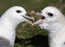 Fulmars (Fulmarus glacialis) fighting, Noss, Shetland, Scotland