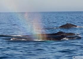 Humpback whale (Megaptera novaeangliae), Cabo San Lucas, Baja California