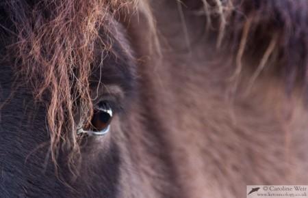 Icelandic horse, Mosfellsbær, Iceland