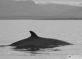 Minke whale (Balaenoptera acutorostrata), Faxaflói bay, Iceland