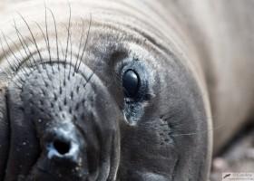 Northern elephant seal (Mirounga angustirostris), San Benitos Island, Pacific Ocean