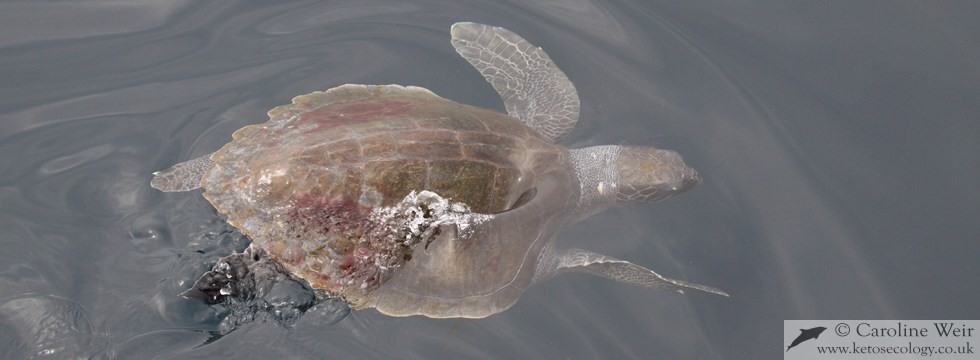 Olive ridley turtle (Lepidochelys olivacea) off Angola, Africa