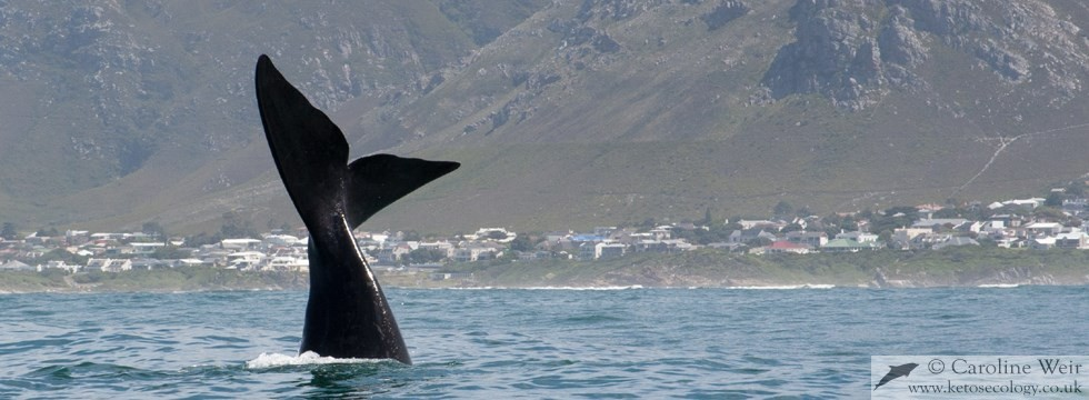 Southern right whale (Eubalaena australis) off South Africa
