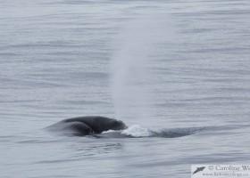 Bowhead whale (Balaena mysticetus) surfacing in Isabella Bay, Baffin Island. (c) Caroline Weir.