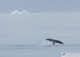 The tail of a bowhead whale (Balaena mysticetus) in Isabella Bay, Baffin Island. (c) Caroline Weir.