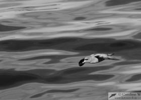 A northern fulmar (Fulmarus glacialis) glides over a glassy sea near Baffin Island. (c) Caroline Weir.