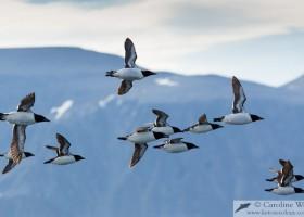 Flock of Brünnich's guillemot (Uria lomvia) returning to the colony at Akpait, Baffin Island. (c) Caroline Weir.