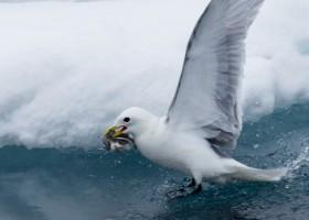 Kittiwake (Rissa tridactyla) catching fish in the sea ice, Lancaster Sound. (c) Caroline Weir.