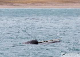 Tusk of a narwhal (Monodon monoceros). Milne Inlet, Baffin Island. (c) Caroline Weir.