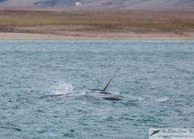 Pod of narwhal (Monodon monoceros) including raised tusk. Milne Inlet, Baffin Island. (c) Caroline Weir.