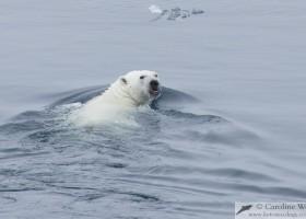 Polar bear (Ursus maritimus) swimming along the ice edge, Baffin Island. (c) Caroline Weir.