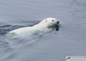 Polar bear (Ursus maritimus) swimming at sea, Baffin Island. (c) Caroline Weir.