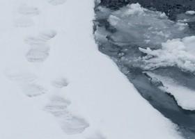 Polar bear (Ursus maritimus) prints, Baffin Island. (c) Caroline Weir.