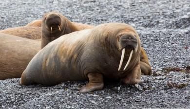 Walrus (Odobenus rosmarus) hauled out at Maxwell Bay, Devon Island. (c) Caroline Weir.